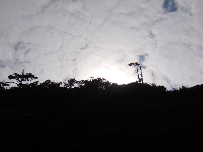 Tree silhouette Salishan