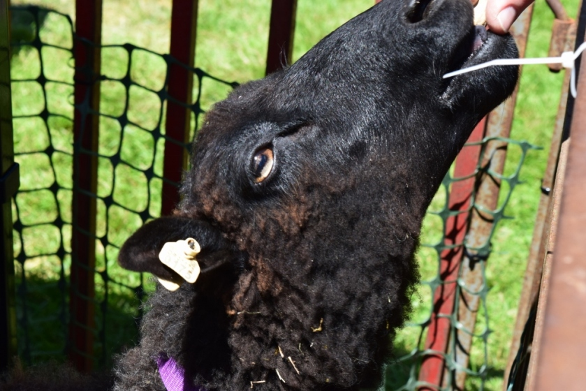 Black Sheep (1024x683)