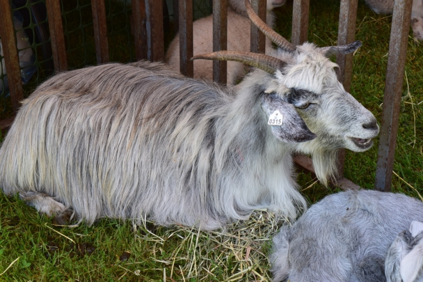 Cashmere Goat (1024x683)