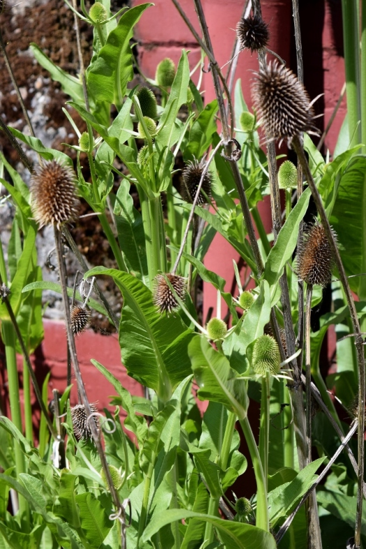 Teasels outside the Mill (683x1024)