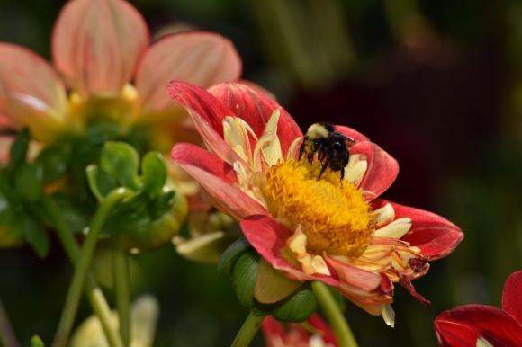 bumblebee (1024x683)