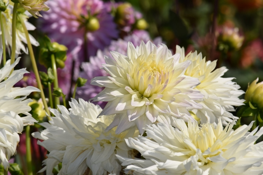 more white dahlias (1024x683)