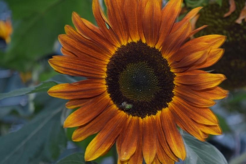 sunflower (1024x683)