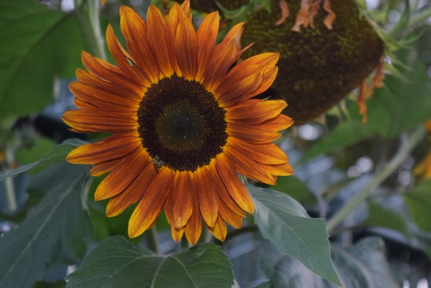 sunflower2 (1024x683)