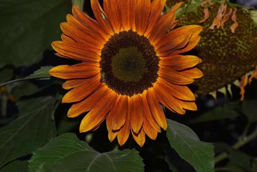sunflower4 (1024x683)