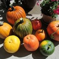 paulas-pumpkins-2-500x375