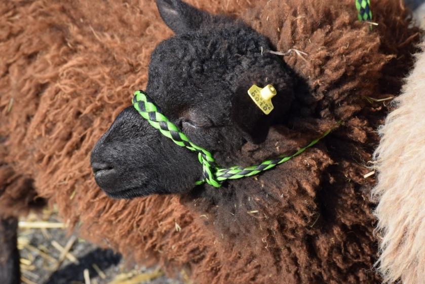 shetland-sheep-1024x683-2