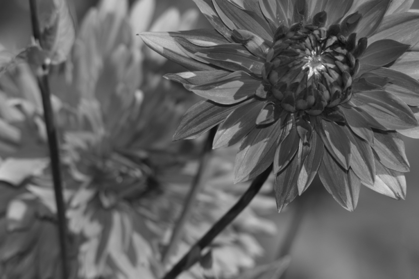 rv-dahlias-3-1024x683